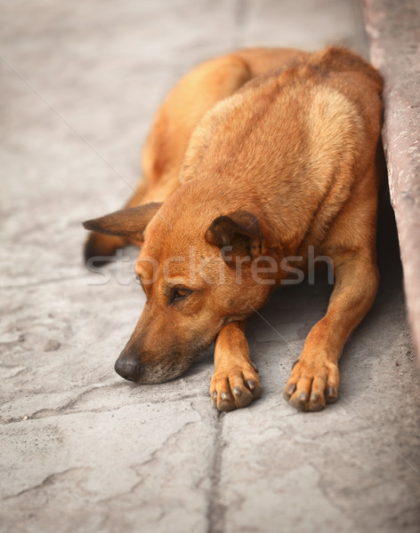 Homeless dog on the pavement Stock photo © pzaxe