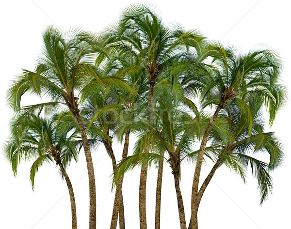 Group of palm trees on white background Stock photo © pzaxe
