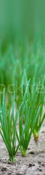 Young onion sprouts close-up Stock photo © pzaxe