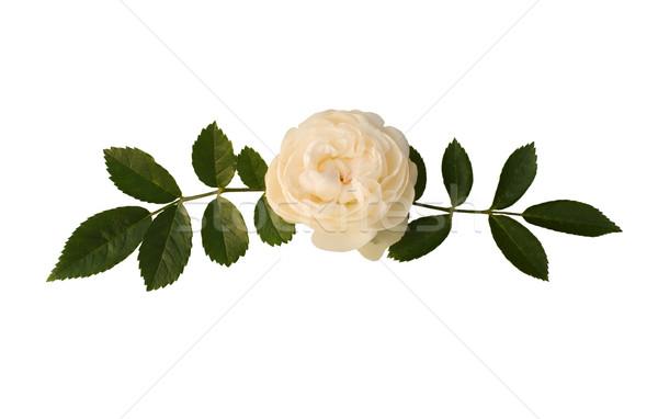 Sprig of tea-rose Stock photo © pzaxe
