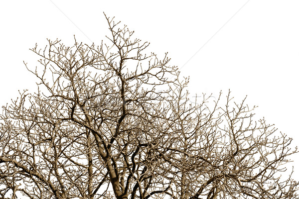 Leafless tree against a cloudless sky Stock photo © pzaxe