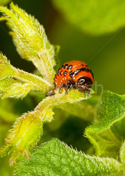 Red larva Colorado beetle eats leaves. Stock photo © pzaxe
