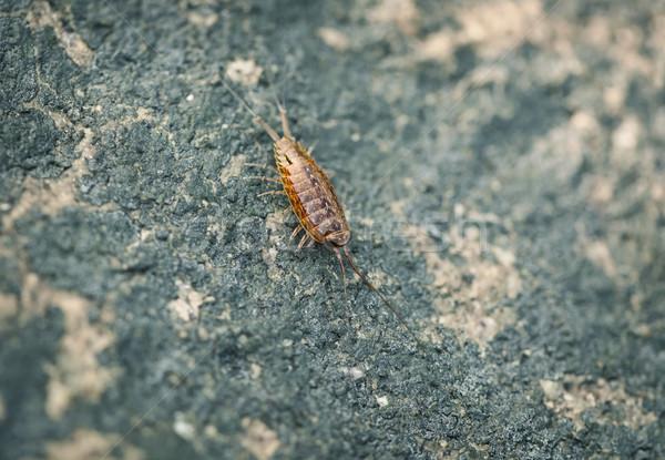 Sea slater (sea louse) on stone background Stock photo © pzaxe