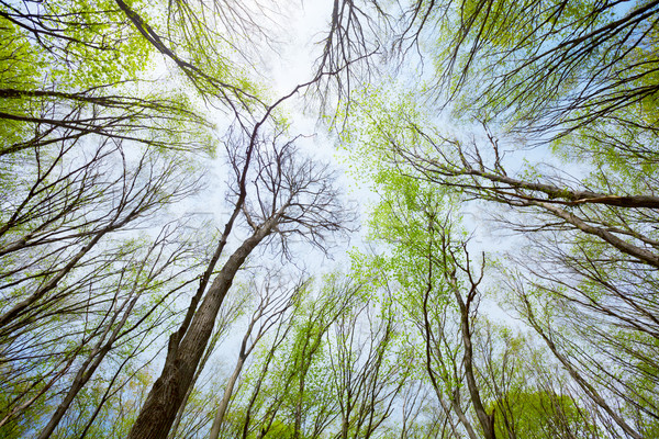 Sky view in the deciduous spring forest Stock photo © pzaxe