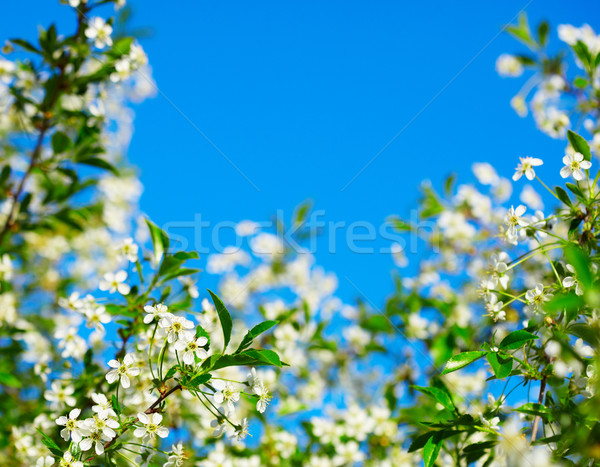 Stock photo: Frame of cherry blossoms against the blue sky
