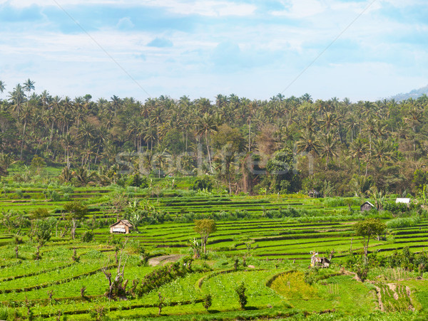Teraced Agricultural Fields in Asia Stock photo © pzaxe