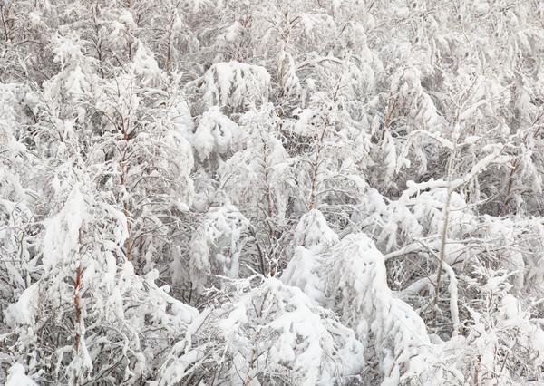 Jóvenes abedul forestales cubierto nieve árbol Foto stock © pzaxe