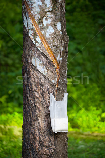 Tapping Hevea tree for latex production Stock photo © pzaxe