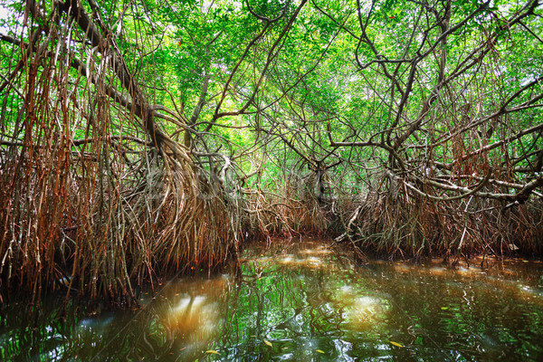 Thickets of mangrove trees in the tidal zone. Sri Lanka Stock photo © pzaxe