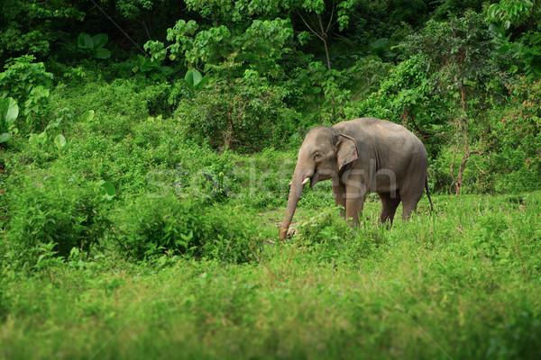 Femminile elefante foresta pluviale Thailandia erba foresta Foto d'archivio © pzaxe
