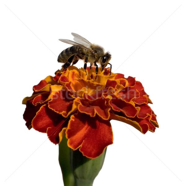 Flower of calendula and bee Stock photo © pzaxe