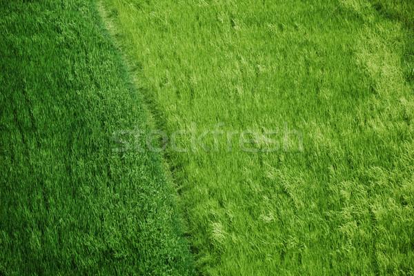 Arroz campos hierba verde paisaje tierra verano Foto stock © pzaxe