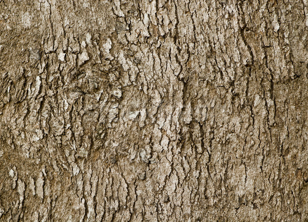 Bark of old deciduous tree - natural background Stock photo © pzaxe