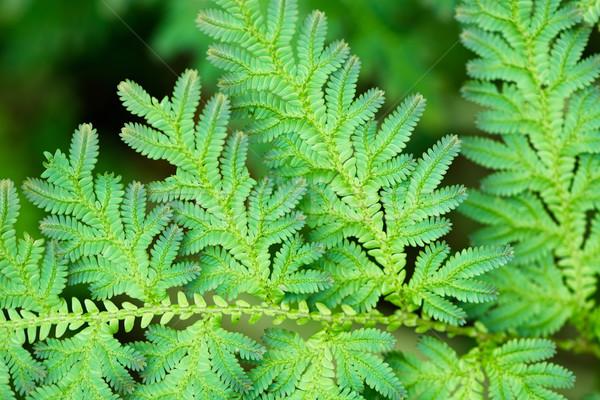 Folhas verdes tropical feto Tailândia grama Foto stock © pzaxe
