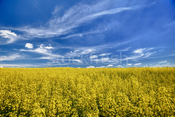 The field of flowering oilseed rape Stock photo © pzaxe