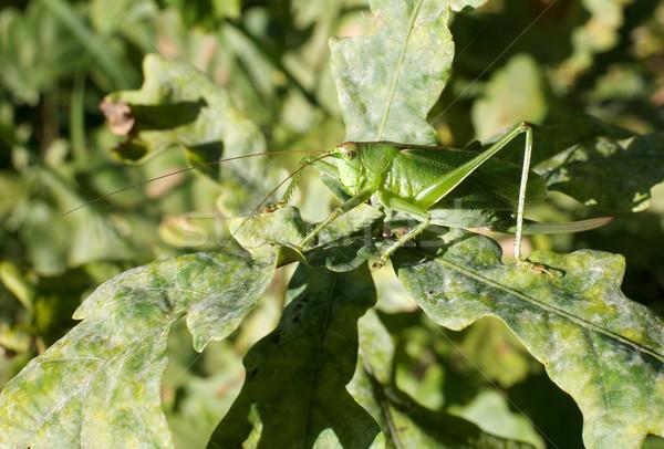 Grasshopper Stock photo © pzaxe