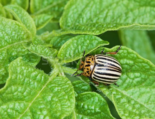 Colorado bug patate foglie mangiare giardino Foto d'archivio © pzaxe