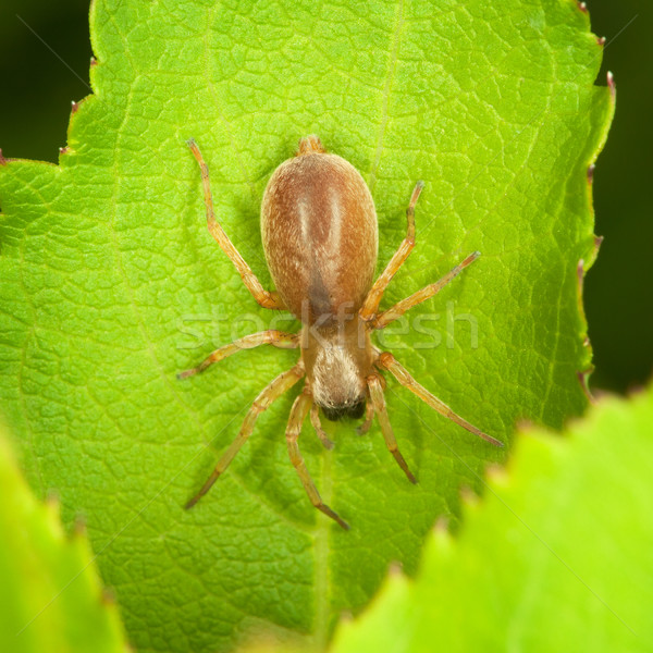 Small thick spider on green leaf Stock photo © pzaxe