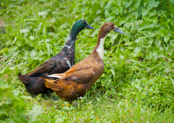Stock photo: Two different genders ducks on meadow