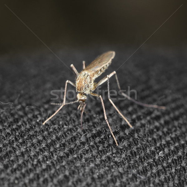 Closeup mosquito bite through a cloth Stock photo © pzaxe