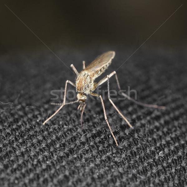Primo piano zanzara mordere panno capelli femminile Foto d'archivio © pzaxe