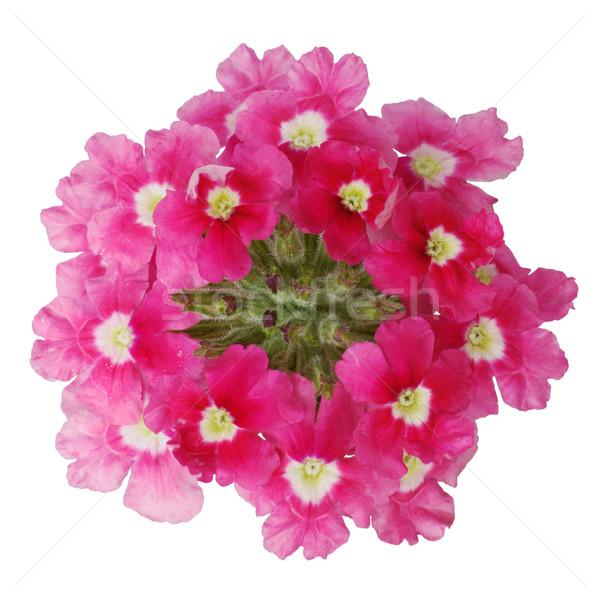 暗い ピンクの花 白 夏 緑 ストックフォト © pzaxe