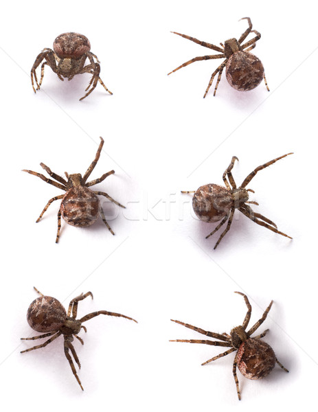 brown spiders Stock photo © pzaxe