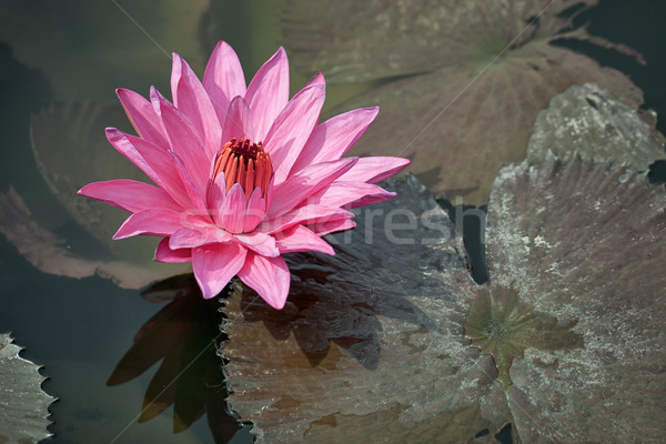 Pink water lily with brown leaves on the surface of a pond close Stock photo © pzaxe
