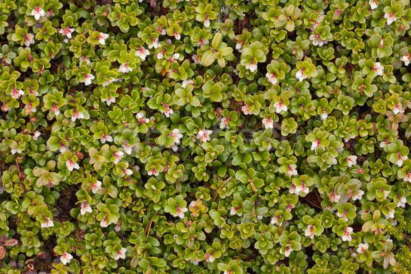 Arctostaphylos uva ursi flowering Stock photo © pzaxe