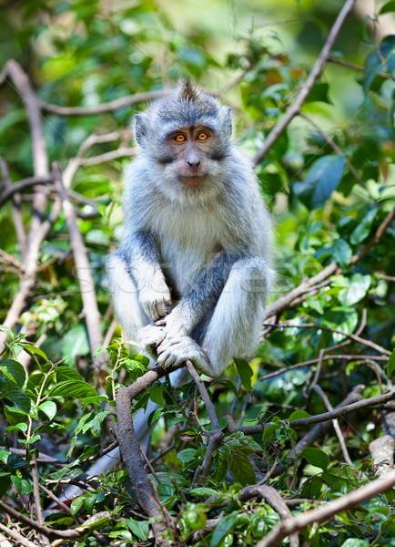 Rák eszik hosszú farok majom Bali Stock fotó © pzaxe