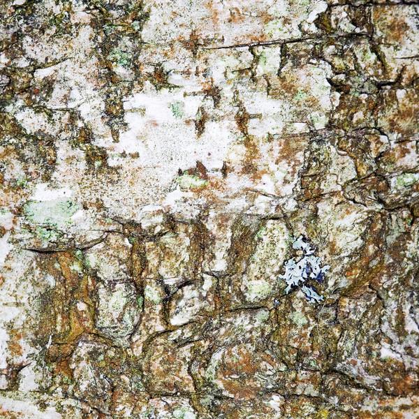 Surface écorce bouleau blanche bois nature Photo stock © pzaxe