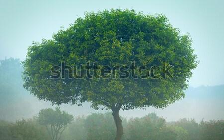 дерево тумана индийской парка небе лес Сток-фото © pzaxe