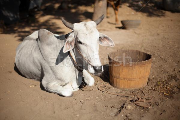 Koe birma grond asian vintage Stockfoto © pzaxe