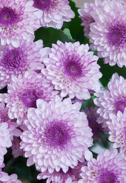 Big bouquet flowers - asters Stock photo © pzaxe