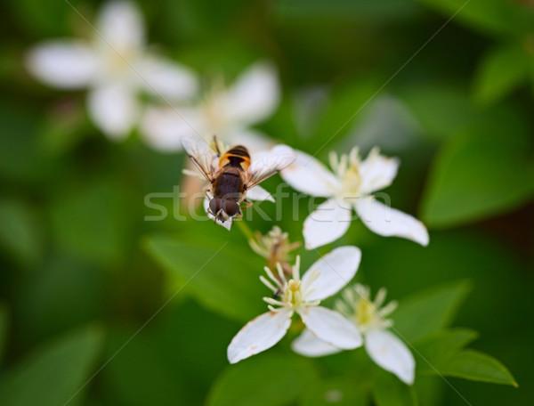 Volare fiore bianco come ape erba natura Foto d'archivio © pzaxe