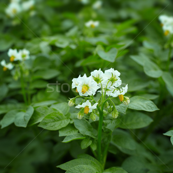 Close up of potato plant flowers Stock photo © pzaxe