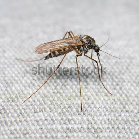 Mosquito bitten through fabric and sucks blood Stock photo © pzaxe