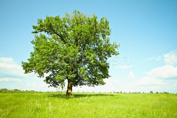 Old oak tree on green meadows Stock photo © pzaxe