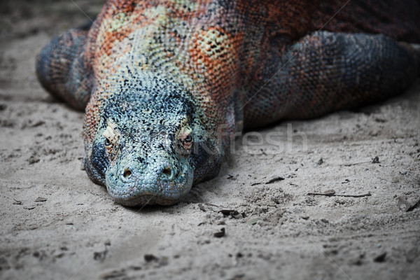 Komodo monitor lizard rests on the sand Stock photo © pzaxe