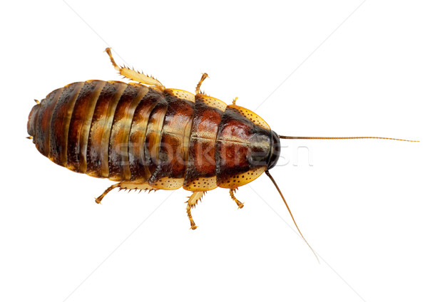 African big cockroach Stock photo © pzaxe