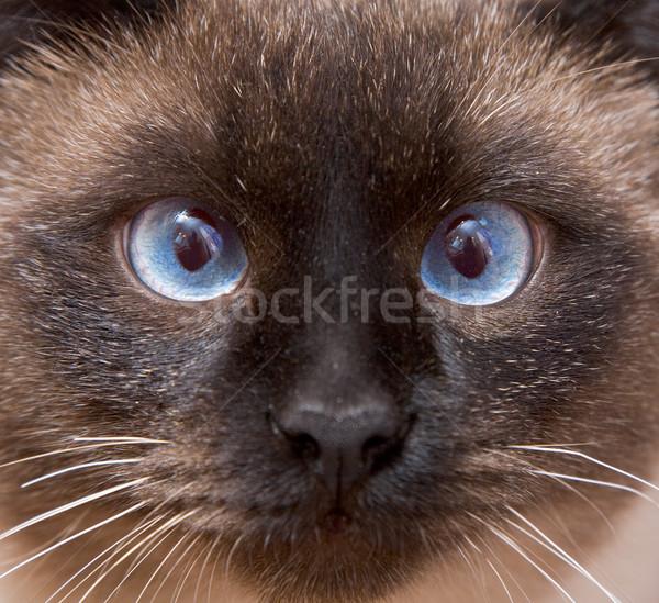 Torkolat sziámi macska kék szemek közelkép szem háttér Stock fotó © pzaxe