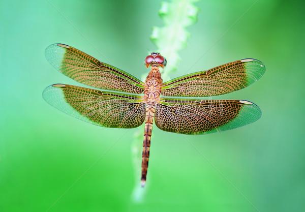 トンボ ブラウン 草 夏 ジャングル 写真 ストックフォト © pzaxe