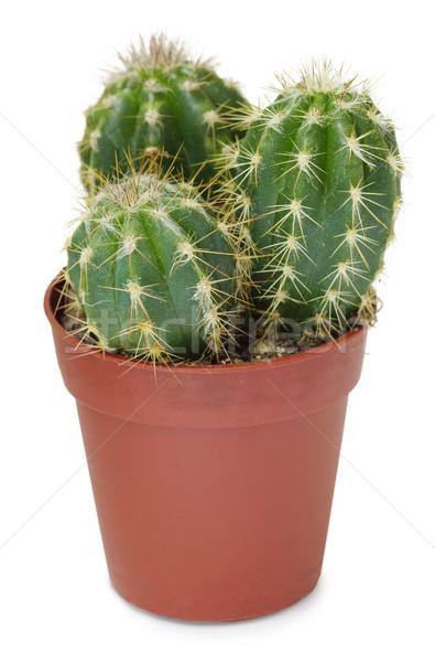 Klein pot witte weinig bruin cactus Stockfoto © pzaxe