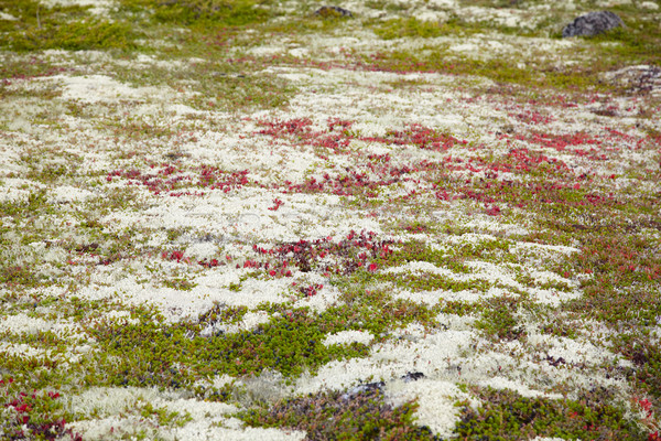 Ground covered by multicolored mosses and lichens - northern tun Stock photo © pzaxe
