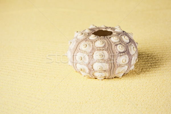 Exoskeleton of sea urchin on sand Stock photo © pzaxe
