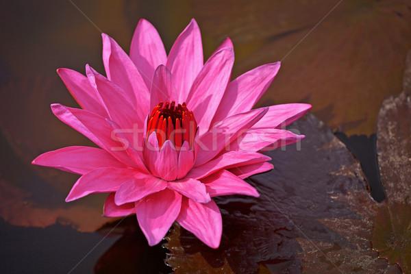 Kırmızı parlama gölet doğa Stok fotoğraf © pzaxe