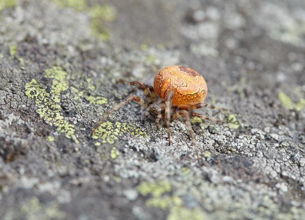 Large orange spider on stone Stock photo © pzaxe
