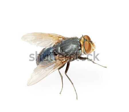 Common fly - hotbed of infection, isolated Stock photo © pzaxe