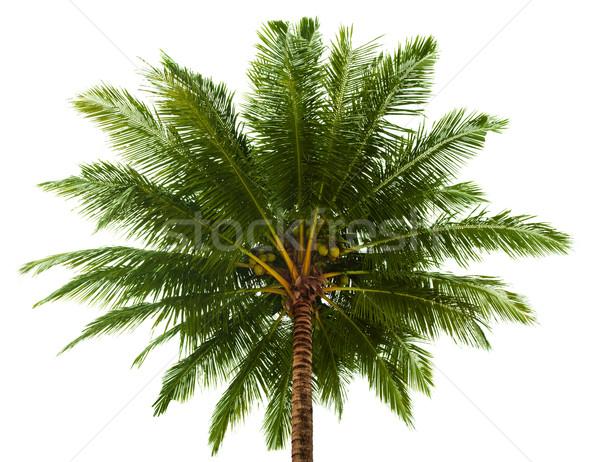 Haut cocotier isolé blanche fond Palm Photo stock © pzaxe