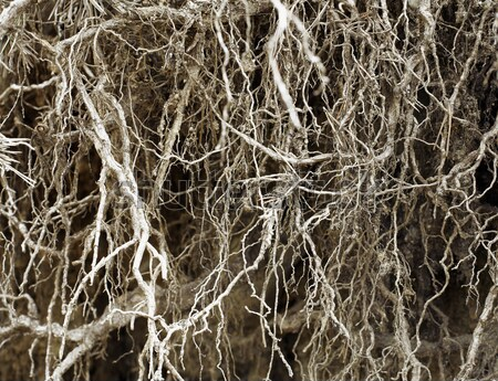 Bared root system of old tree - background Stock photo © pzaxe